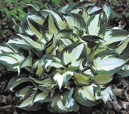 Hosta Fire and Ice